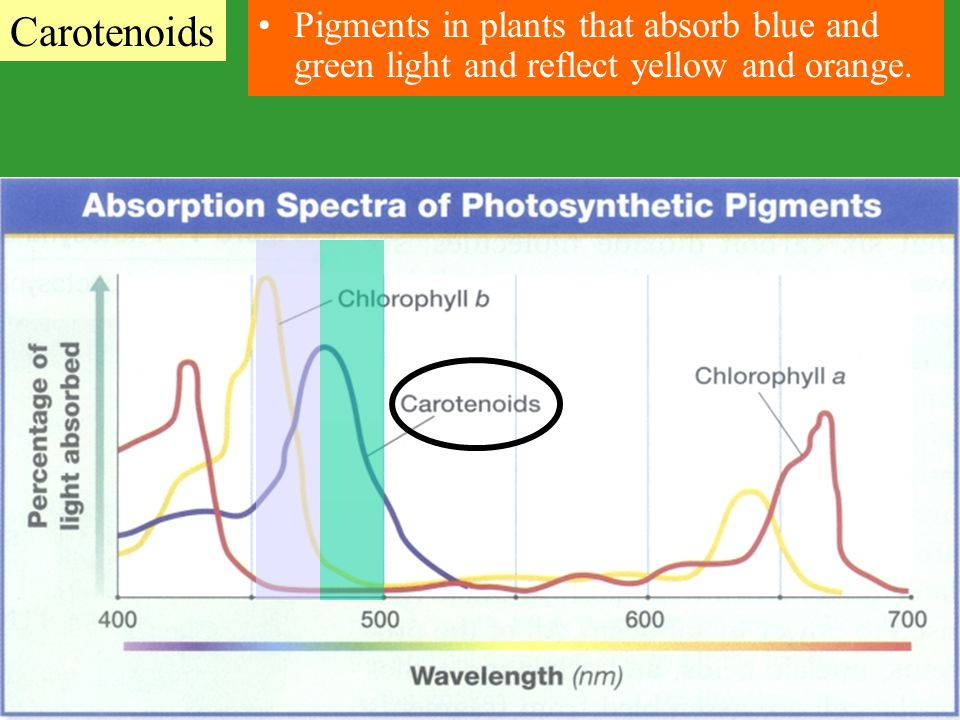 Pigments in plants that absorb blue and green light and reflect yellow and orange. Carotenoids