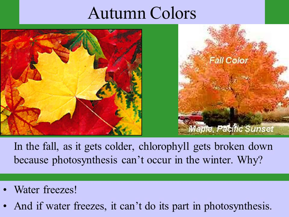Autumn Colors In the fall, as it gets colder, chlorophyll gets broken down because photosynthesis can't occur in the winter. Why? Water freezes! And i