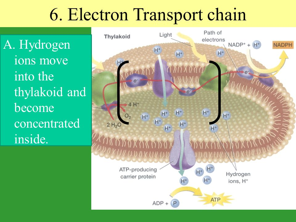 6. Electron Transport chain A. Hydrogen ions move into the thylakoid and become concentrated inside.