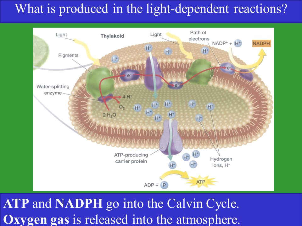 What is produced in the light-dependent reactions? ATP and NADPH go into the Calvin Cycle. Oxygen gas is released into the atmosphere.