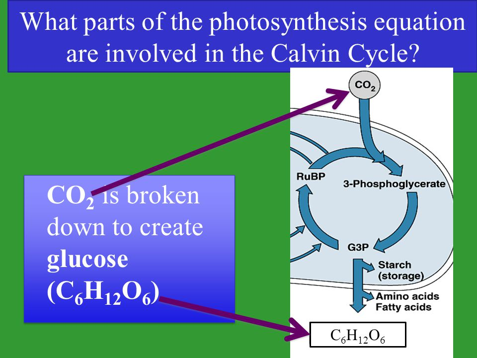 What parts of the photosynthesis equation are involved in the Calvin Cycle? CO 2 is broken down to create glucose (C 6 H 12 O 6 ) C 6 H 12 O 6
