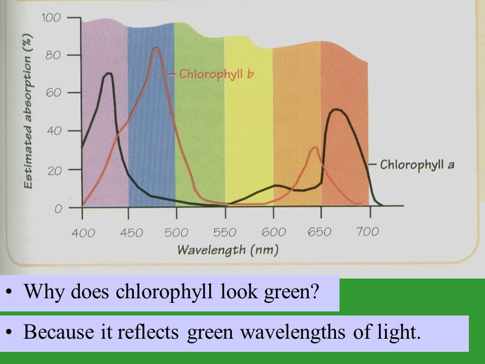 Why does chlorophyll look green? Because it reflects green wavelengths of light.