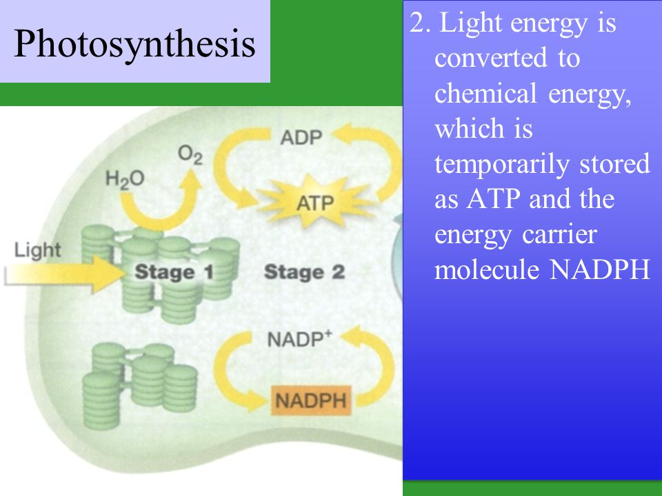 2. Light energy is converted to chemical energy, which is temporarily stored as ATP and the energy carrier molecule NADPH Photosynthesis