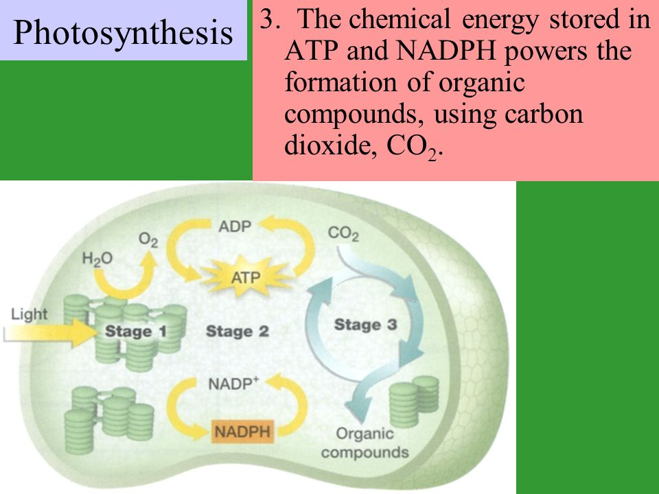 3. The chemical energy stored in ATP and NADPH powers the formation of organic compounds, using carbon dioxide, CO 2. Photosynthesis