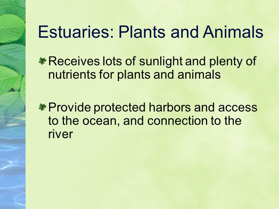 Estuaries: Plants and Animals Receives lots of sunlight and plenty of nutrients for plants and animals Provide protected harbors and access to the oce