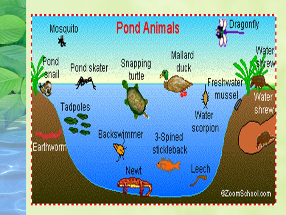 Estuaries: Plants and Animals Receives lots of sunlight and plenty of nutrients for plants and animals Provide protected harbors and access to the ocean, and connection to the river