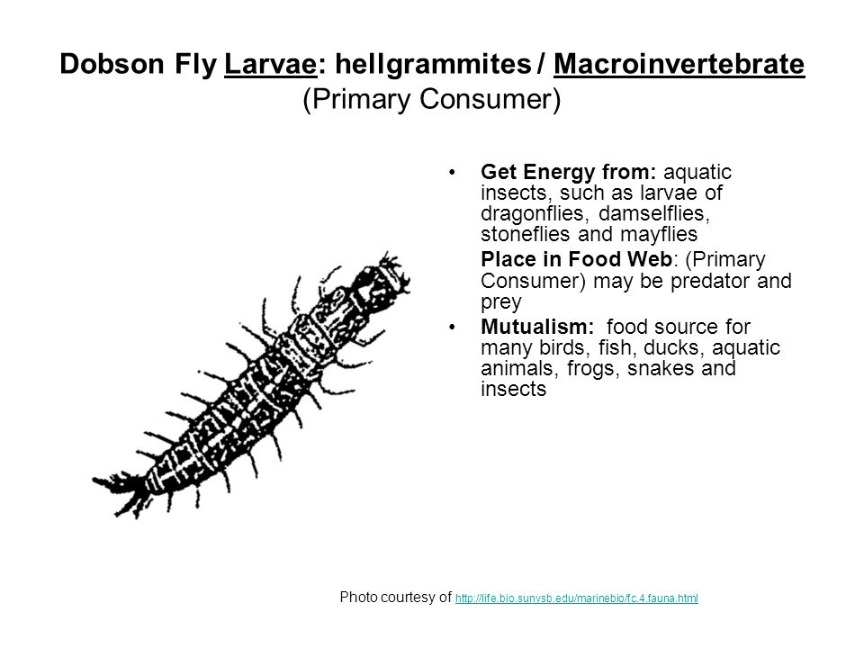 Dobson Fly Larvae: hellgrammites / Macroinvertebrate (Primary Consumer) Get Energy from: aquatic insects, such as larvae of dragonflies, damselflies, stoneflies and mayflies Place in Food Web: (Primary Consumer) may be predator and prey Mutualism: food source for many birds, fish, ducks, aquatic animals, frogs, snakes and insects Photo courtesy of http://life.bio.sunysb.edu/marinebio/fc.4.fauna.html http://life.bio.sunysb.edu/marinebio/fc.4.fauna.html