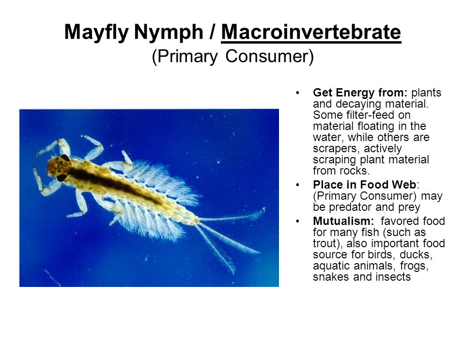 Mayfly Nymph / Macroinvertebrate (Primary Consumer) Get Energy from: plants and decaying material.