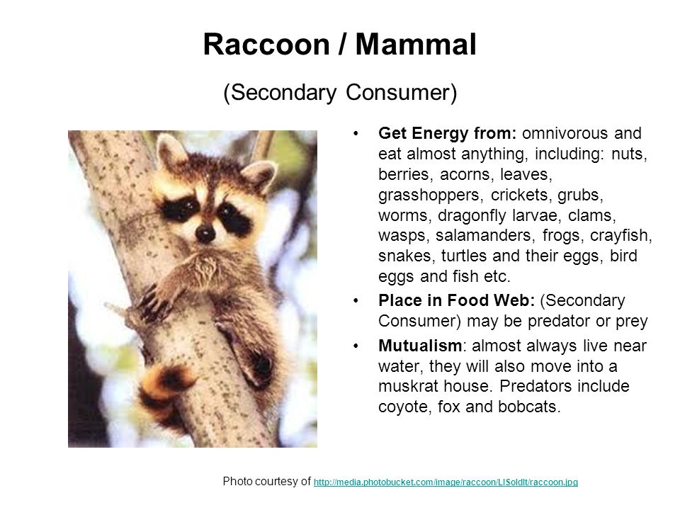 Raccoon / Mammal (Secondary Consumer) Get Energy from: omnivorous and eat almost anything, including: nuts, berries, acorns, leaves, grasshoppers, crickets, grubs, worms, dragonfly larvae, clams, wasps, salamanders, frogs, crayfish, snakes, turtles and their eggs, bird eggs and fish etc.