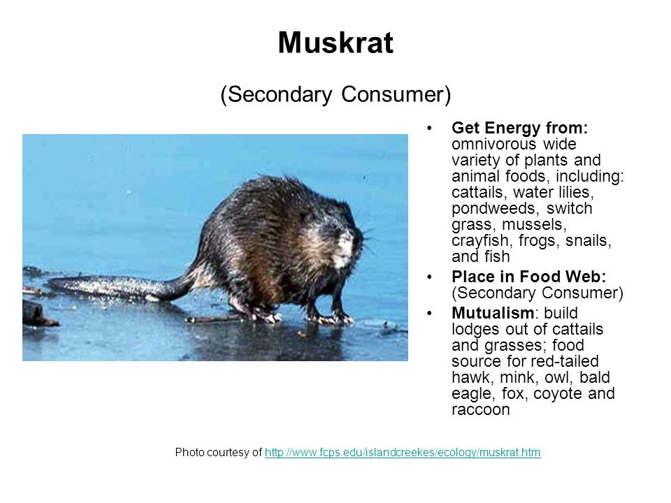 Muskrat (Secondary Consumer) Get Energy from: omnivorous wide variety of plants and animal foods, including: cattails, water lilies, pondweeds, switch grass, mussels, crayfish, frogs, snails, and fish Place in Food Web: (Secondary Consumer) Mutualism: build lodges out of cattails and grasses; food source for red-tailed hawk, mink, owl, bald eagle, fox, coyote and raccoon Photo courtesy of http://www.fcps.edu/islandcreekes/ecology/muskrat.htmhttp://www.fcps.edu/islandcreekes/ecology/muskrat.htm