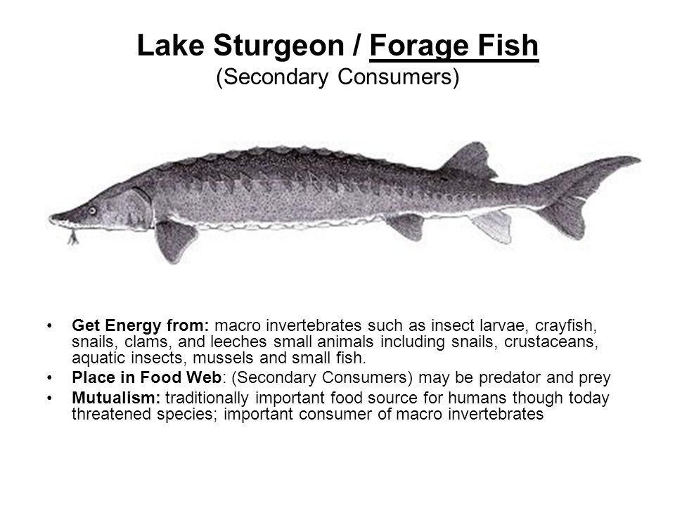Lake Sturgeon / Forage Fish (Secondary Consumers) Get Energy from: macro invertebrates such as insect larvae, crayfish, snails, clams, and leeches small animals including snails, crustaceans, aquatic insects, mussels and small fish.