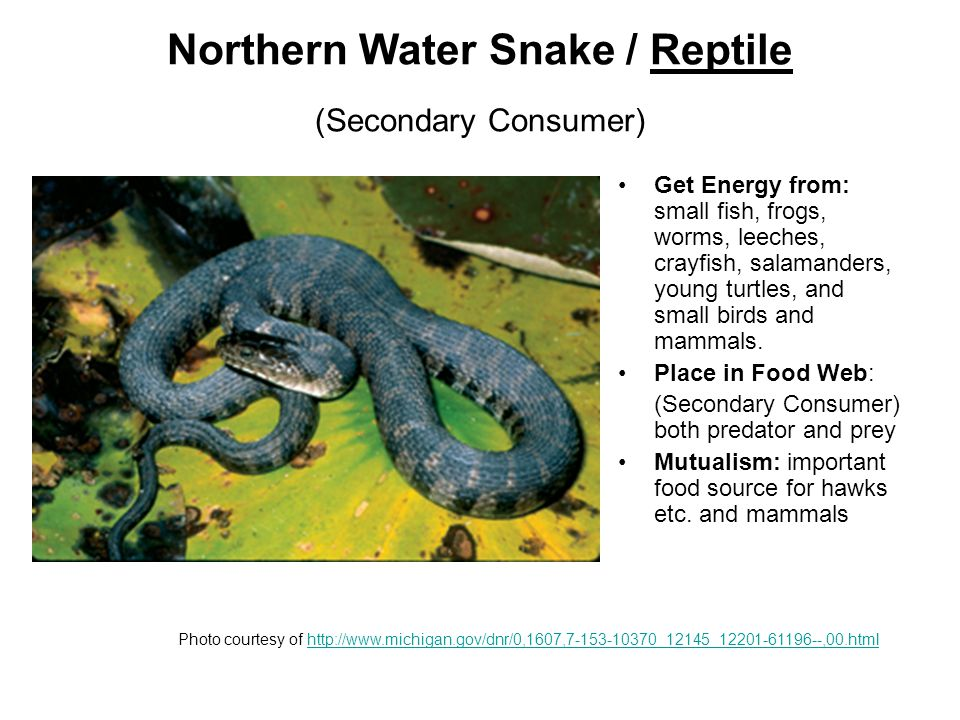 Northern Water Snake / Reptile (Secondary Consumer) Get Energy from: small fish, frogs, worms, leeches, crayfish, salamanders, young turtles, and small birds and mammals.