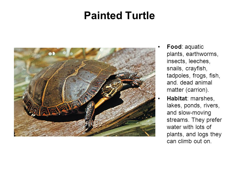Painted Turtle Food: aquatic plants, earthworms, insects, leeches, snails, crayfish, tadpoles, frogs, fish, and.