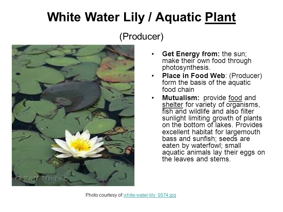 White Water Lily / Aquatic Plant (Producer) Get Energy from: the sun; make their own food through photosynthesis.