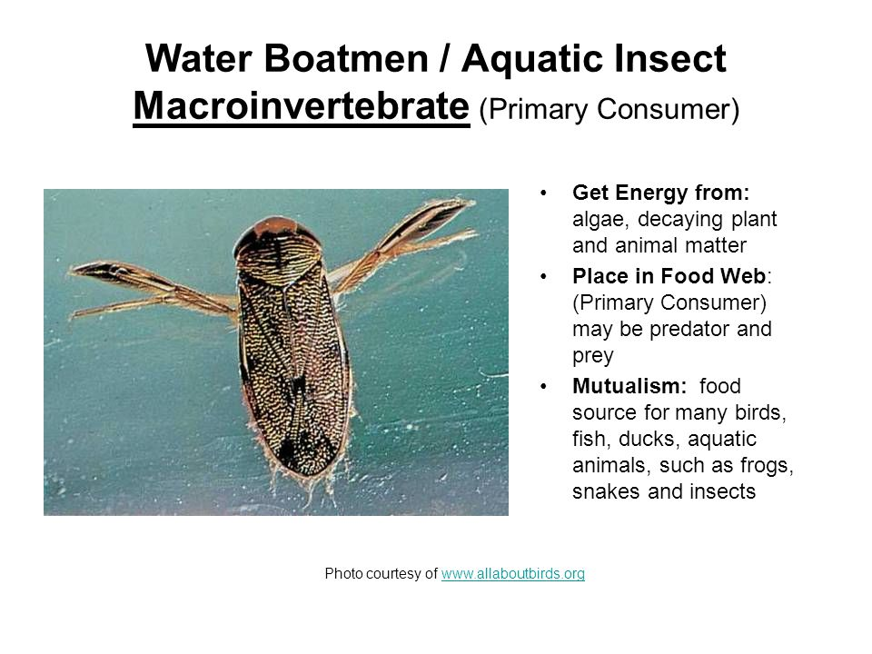 Water Boatmen / Aquatic Insect Macroinvertebrate (Primary Consumer) Get Energy from: algae, decaying plant and animal matter Place in Food Web: (Primary Consumer) may be predator and prey Mutualism: food source for many birds, fish, ducks, aquatic animals, such as frogs, snakes and insects Photo courtesy of www.allaboutbirds.orgwww.allaboutbirds.org