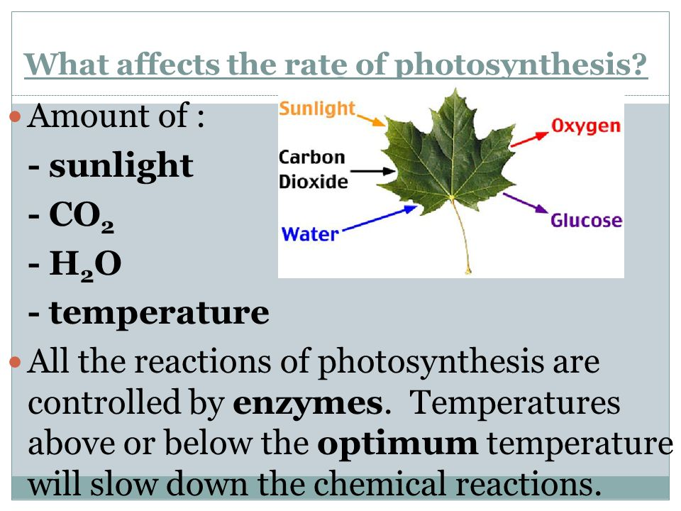 What affects the rate of photosynthesis? Amount of : - sunlight - CO 2 - H 2 O - temperature All the reactions of photosynthesis are controlled by enz