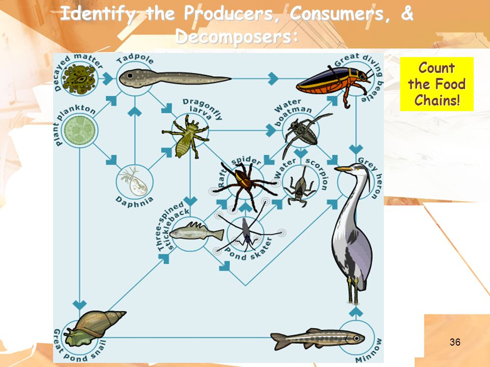 36 Identify the Producers, Consumers, & Decomposers: Count the Food Chains!
