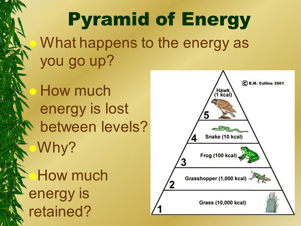 Pyramid of Energy l What happens to the energy as you go up.