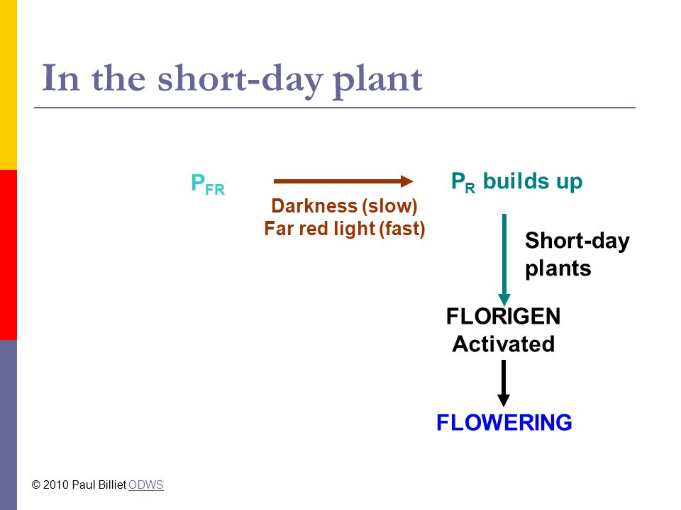 In the short-day plant P FR P R builds up Darkness (slow) Far red light (fast) Short-day plants FLORIGEN Activated FLOWERING © 2010 Paul Billiet ODWSODWS