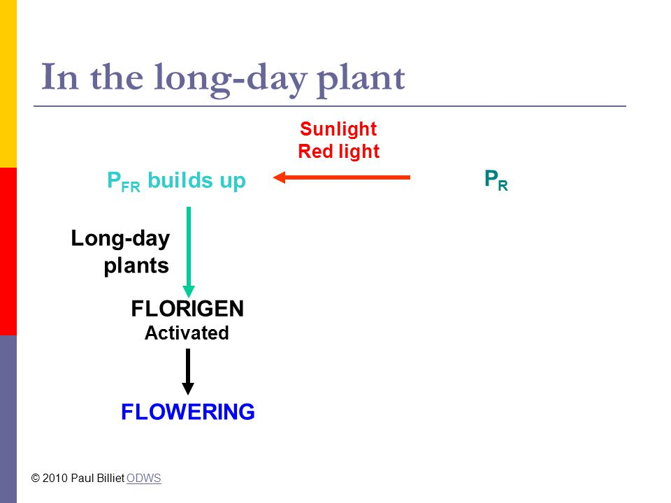 In the long-day plant P FR builds up PRPR Sunlight Red light Long-day plants FLOWERING FLORIGEN Activated © 2010 Paul Billiet ODWSODWS