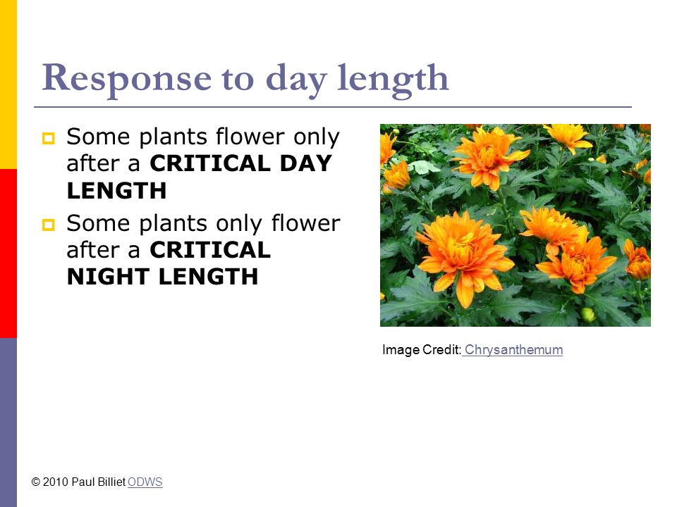 Response to day length  Some plants flower only after a CRITICAL DAY LENGTH  Some plants only flower after a CRITICAL NIGHT LENGTH Image Credit: Chrysanthemum Chrysanthemum © 2010 Paul Billiet ODWSODWS
