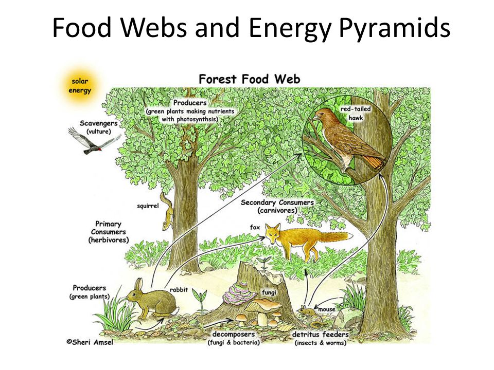 Food Webs and Energy Pyramids