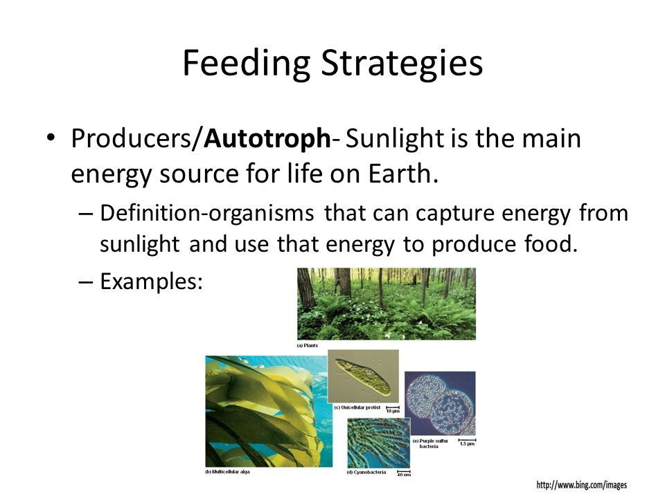 Feeding Strategies Producers/Autotroph- Sunlight is the main energy source for life on Earth.