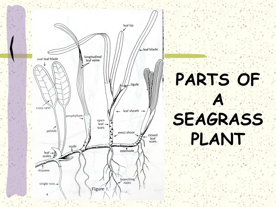 PARTS OF A SEAGRASS PLANT