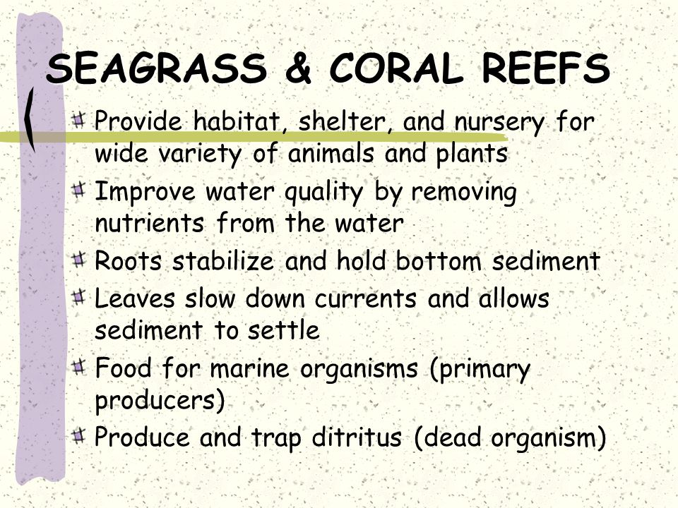 SEAGRASS & CORAL REEFS Provide habitat, shelter, and nursery for wide variety of animals and plants Improve water quality by removing nutrients from the water Roots stabilize and hold bottom sediment Leaves slow down currents and allows sediment to settle Food for marine organisms (primary producers) Produce and trap ditritus (dead organism)