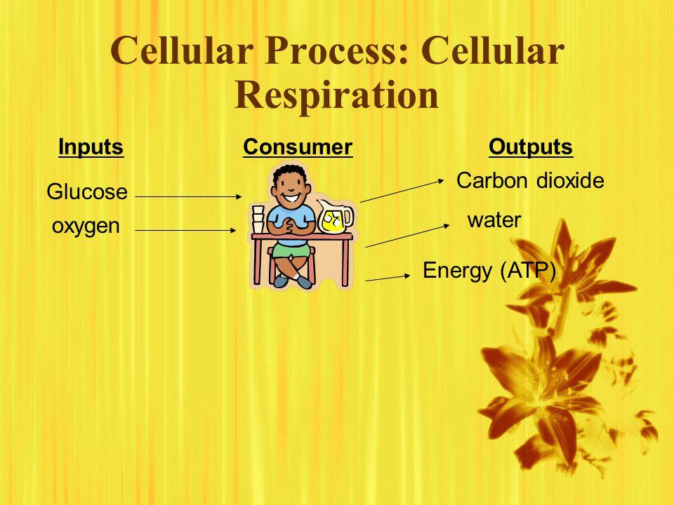 Cellular Process: Cellular Respiration InputsOutputs Consumer Glucose oxygen Carbon dioxide water Energy (ATP)