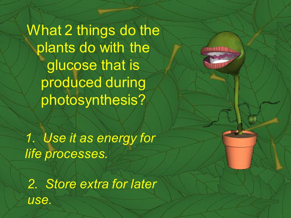 What 2 things do the plants do with the glucose that is produced during photosynthesis.