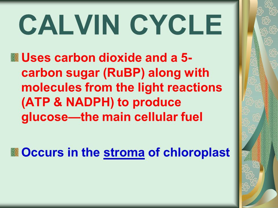 CALVIN CYCLE Uses carbon dioxide and a 5- carbon sugar (RuBP) along with molecules from the light reactions (ATP & NADPH) to produce glucose—the main cellular fuel Occurs in the stroma of chloroplast