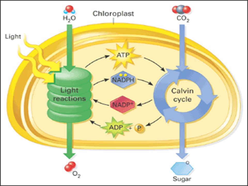 What you need to know about the light reactions Destination of end products: ATP and NADPH go to stroma (Calvin cycle) O 2 leaves as waste product