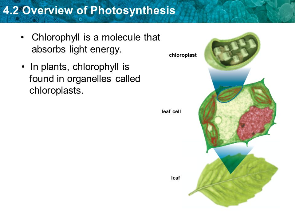 4.2 Overview of Photosynthesis Chlorophyll is a molecule that absorbs light energy. chloroplast leaf cell leaf In plants, chlorophyll is found in orga