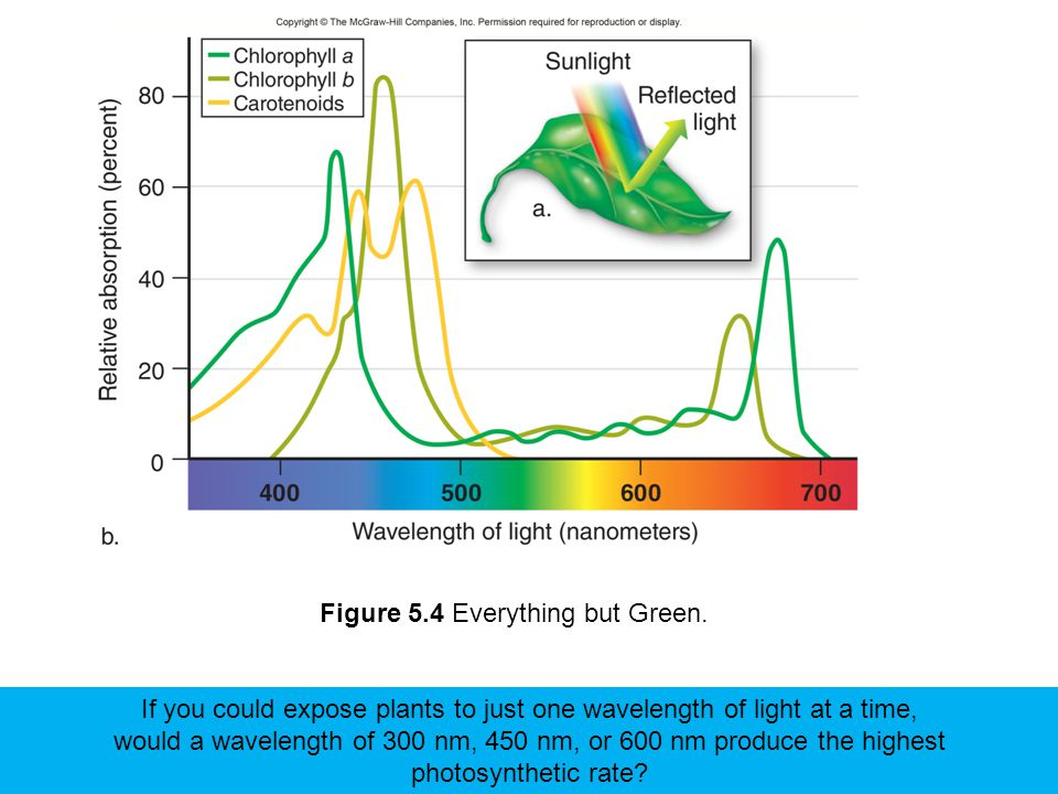 Figure 5.4 Everything but Green. If you could expose plants to just one wavelength of light at a time, would a wavelength of 300 nm, 450 nm, or 600 nm