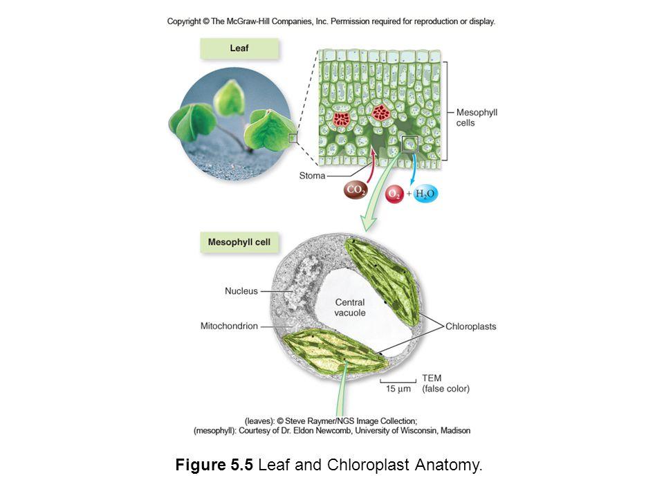 Figure 5.5 Leaf and Chloroplast Anatomy.