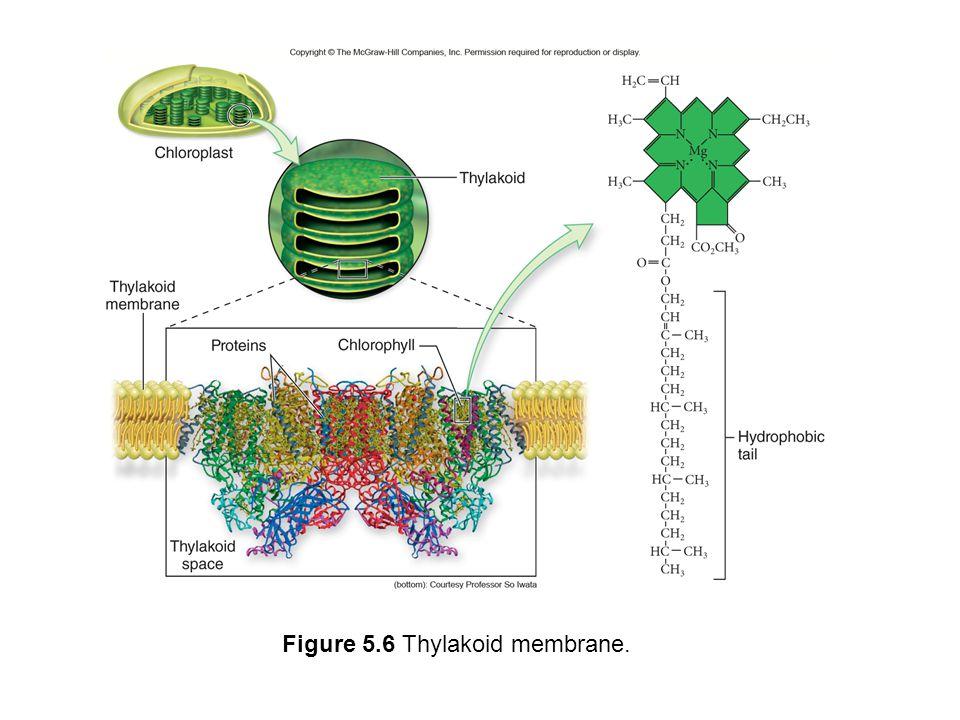 Figure 5.6 Thylakoid membrane.