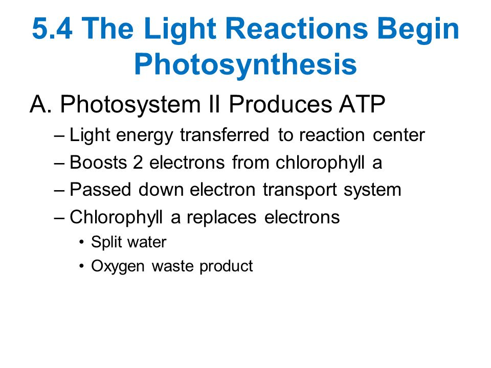 5.4 The Light Reactions Begin Photosynthesis A.