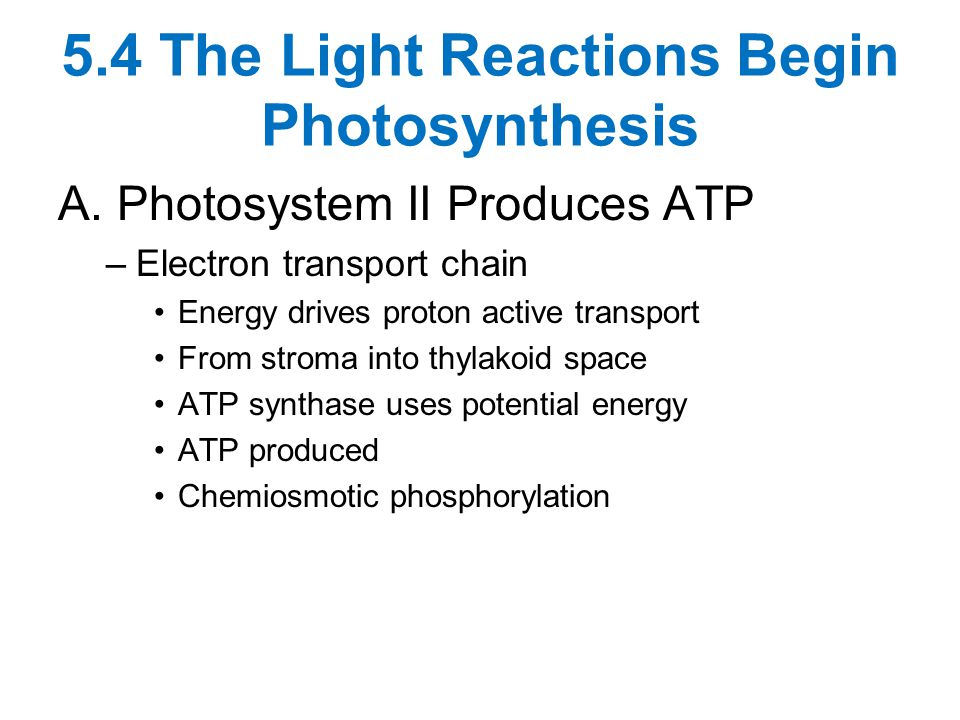 5.4 The Light Reactions Begin Photosynthesis A. Photosystem II Produces ATP –Electron transport chain Energy drives proton active transport From strom