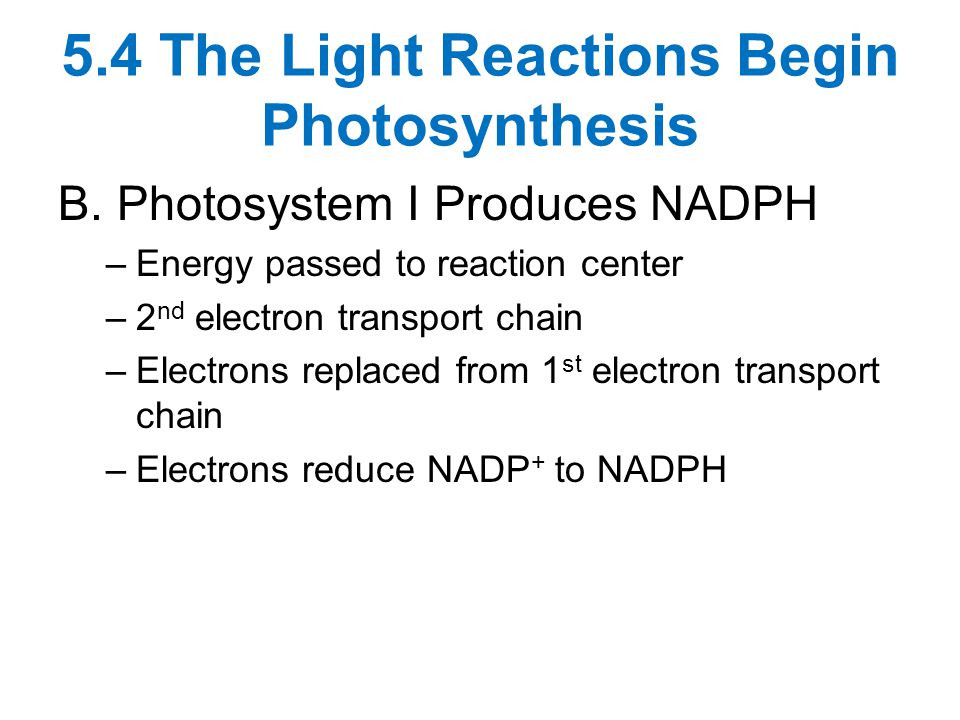 5.4 The Light Reactions Begin Photosynthesis B.