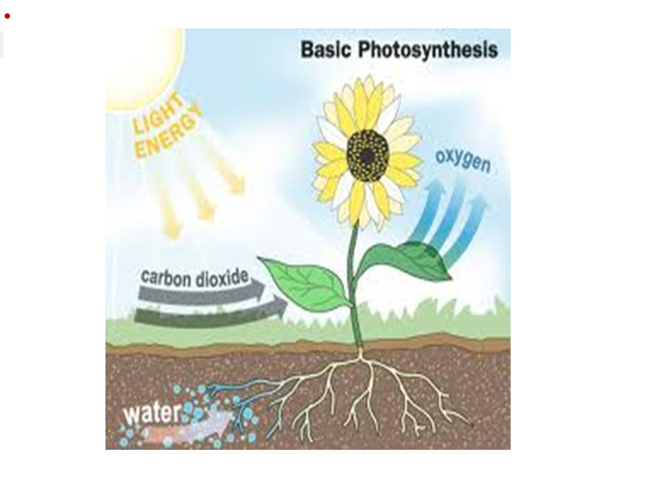 Photosynthesis Equation 6CO 2 + 6 H 2 O C 6 H 12 O 6 + 6O 2 Carbon dioxide waterGlucose (sugar) (food) oxygen Sunlight energy (raw ) materials (products)