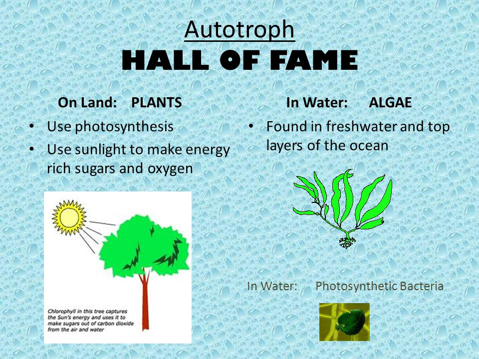 Autotroph HALL OF FAME On Land: PLANTS Use photosynthesis Use sunlight to make energy rich sugars and oxygen In Water: ALGAE Found in freshwater and t