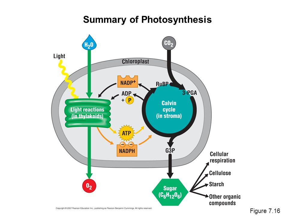 Figure 7.16 Summary of Photosynthesis