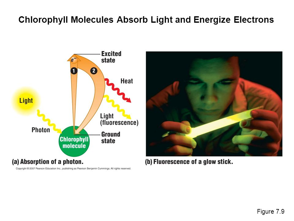 Figure 7.9 Chlorophyll Molecules Absorb Light and Energize Electrons