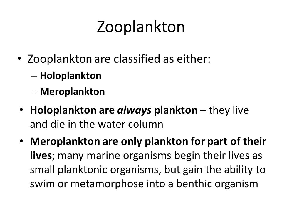 Zooplankton Zooplankton are classified as either: – Holoplankton – Meroplankton Holoplankton are always plankton – they live and die in the water column Meroplankton are only plankton for part of their lives; many marine organisms begin their lives as small planktonic organisms, but gain the ability to swim or metamorphose into a benthic organism