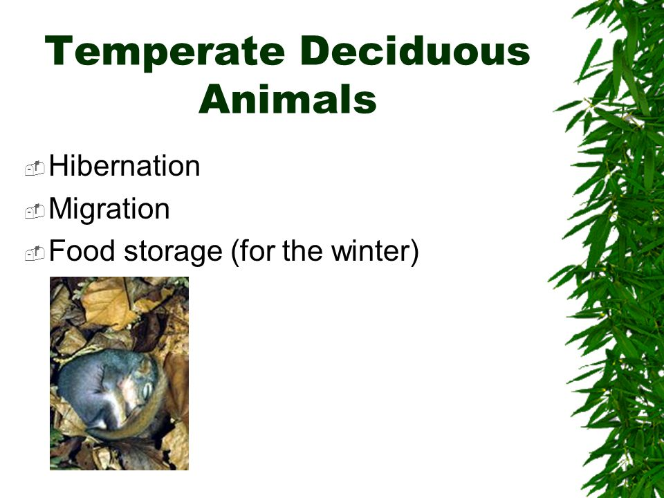 Temperate Deciduous Animals  Hibernation  Migration  Food storage (for the winter)