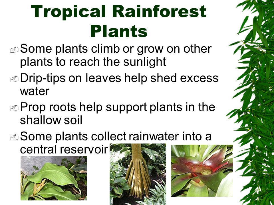 Tropical Rainforest Plants  Some plants climb or grow on other plants to reach the sunlight  Drip-tips on leaves help shed excess water  Prop roots