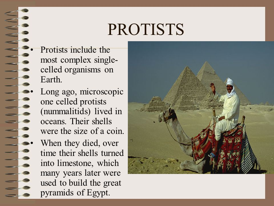 PROTISTS Protists include the most complex single- celled organisms on Earth. Long ago, microscopic one celled protists (nummalitids) lived in oceans.