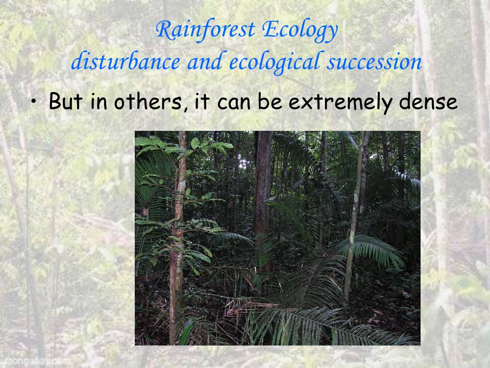 Rainforest Ecology disturbance and ecological succession But in others, it can be extremely dense