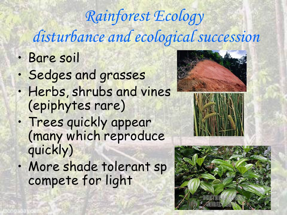 Rainforest Ecology disturbance and ecological succession Bare soil Sedges and grasses Herbs, shrubs and vines (epiphytes rare) Trees quickly appear (many which reproduce quickly) More shade tolerant sp compete for light